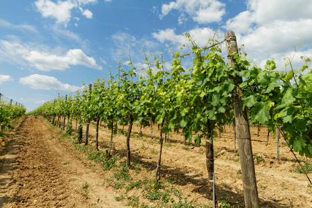 viniculture: Beautiful landscape in the Tokay grapes - Hungary