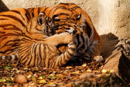 tigre cachorro: La mamá de tigre en el zoológico con su cachorro de tigre