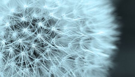 blue dandelion: The Dandelion background. Abstract dandelion seeds.