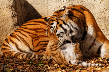 Tiger cub: The tiger mum in the zoo with her tiger cub - sunny photo