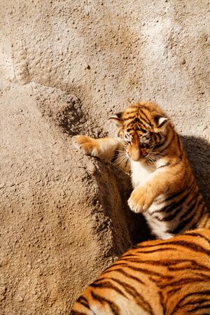 tigre cachorro: El cachorro de tigre mientras que sube la pared - foto soleado