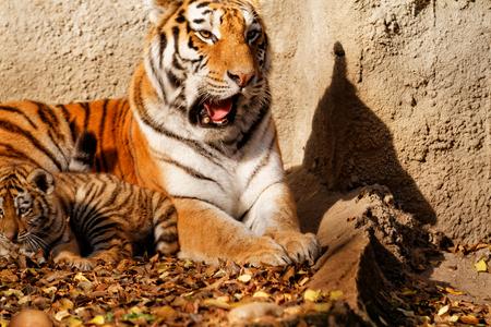 tigre cachorro: La mamá tigre en el zoológico con su cachorro de tigre - foto soleado