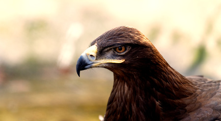 prowess: Photo of an angry brown eagle in the nature Stock Photo