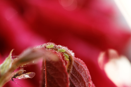 aphid: Photo of the small green aphid in the rose
