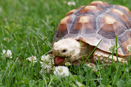 wildlife animal: Cute turtle crawling on the green grass