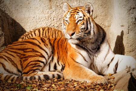 tigre cachorro: The tiger mum in the zoo with her tiger cub - sunny photo