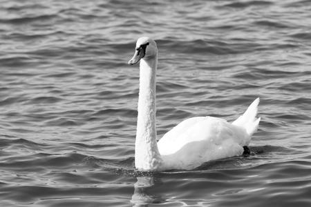 bw: Photo of white swan in the lake - BW
