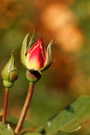 Close up photo of a red rosebud
