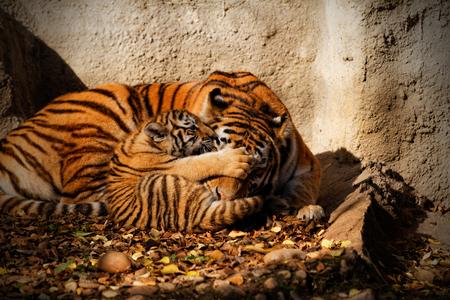 tigre cachorro: La madre tigre en el zoológico con su cachorro de tigre - foto soleado