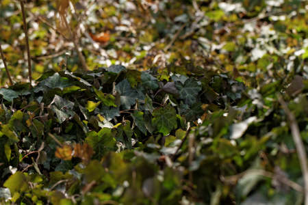 creeping plant: Photo of a creeping plant the english ivy