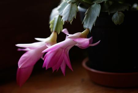 Photo of the beautiful christmas cactus flower