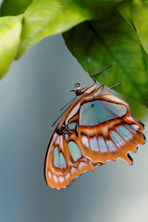 biblis: Red lacewing butterfly (lat. Cethosia biblis) resting on leaf