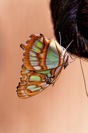 biblis: Red lacewing butterfly (lat. Cethosia biblis) resting on branch
