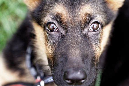Puppy of german shepard dog portrait  - close up photo