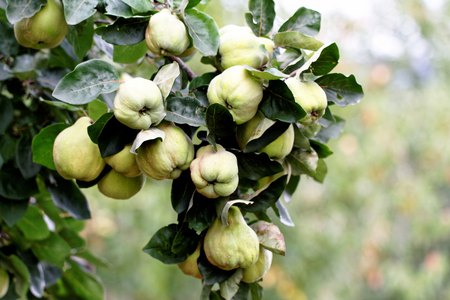 Organic natural quince apples on the tree at fall. Stock Photo