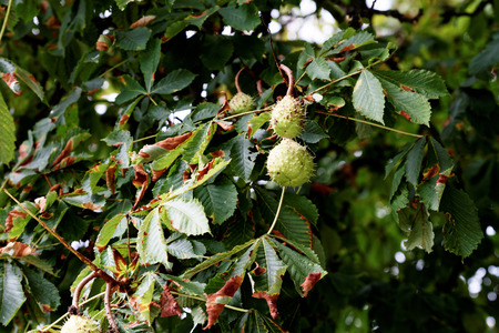 Chestnut on a tree - with immature fruits Archivio Fotografico