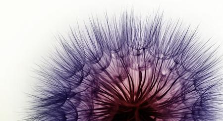 Beautiful abstract macro photo of dandelion seeds Stock Photo