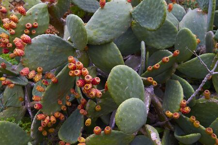 Cactus with fruit - detail photo