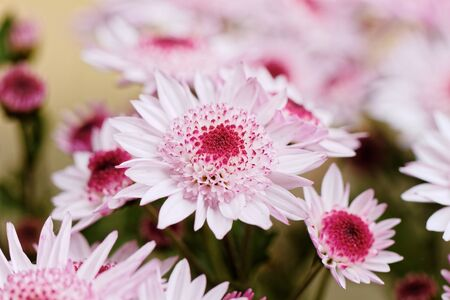 Beautiful pink chrysanthemum as background picture