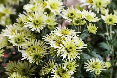 Beautiful yellow chrysanthemum as background picture