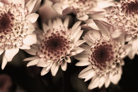 Beautiful chrysanthemum as background picture