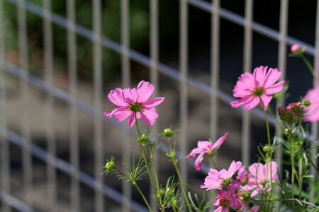 Cosmos bipinnatus - Cosmos flower