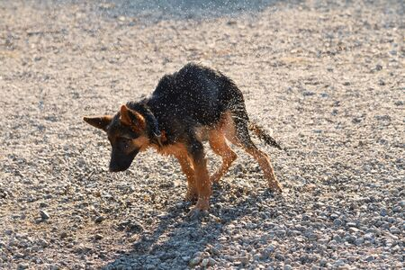 Young German shepherd dog - wet dog
