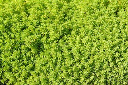 Sedum rupestre plant