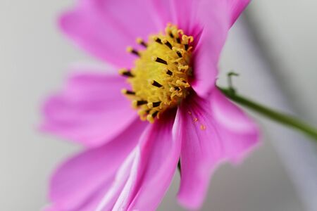 Beautiful pink Cosmos flower in the garden.