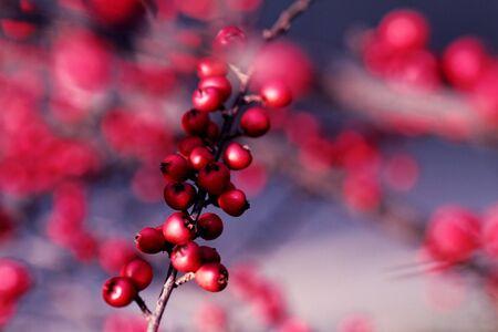 Cotoneaster bush -detail photo