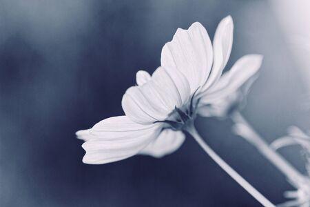 Cosmos bipinnatus - Cosmos flower Zdjęcie Seryjne - 140527343
