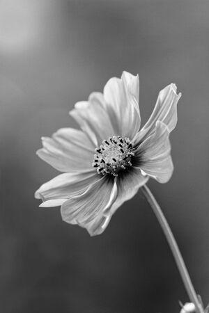 Cosmos bipinnatus - Cosmos flower Zdjęcie Seryjne