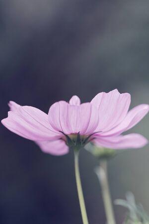 Cosmos bipinnatus - Cosmos flower Zdjęcie Seryjne - 144517264