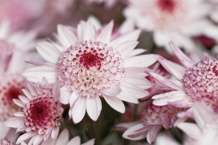 Beautiful pink chrysanthemum as background picture Zdjęcie Seryjne - 144517258