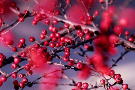 Cotoneaster bush -detail photo Zdjęcie Seryjne - 144517260