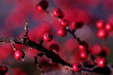 A macro shot of the red berries of a cotoneaster bush Zdjęcie Seryjne