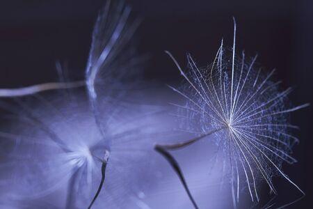 Dandelion seed - macro photo