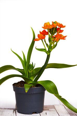 Orange star flower - (Bethlehem flower) Zdjęcie Seryjne