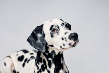 dalmatian: dalmatian