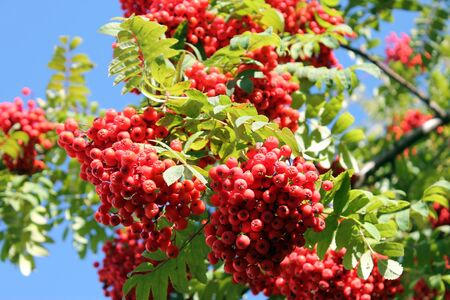Bunches of ripe rowan in the foliage against the blue sky