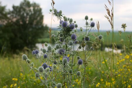 A plant field eryngo with blue thorns in the evening against the background of the field and the shore of the lake Stock Photo