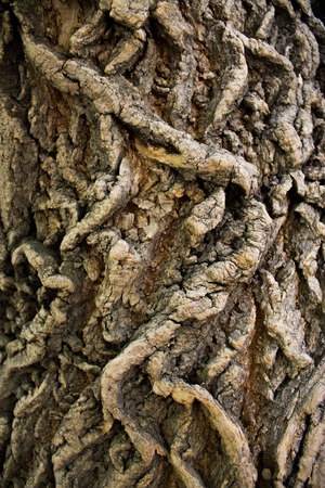 Part of the trunk of the old elm-tree, covered with deep furrows