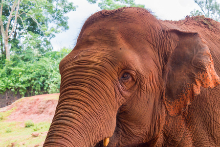 Portrait of a red Indian elephant with a wistful gaze and a wrinkled trunk