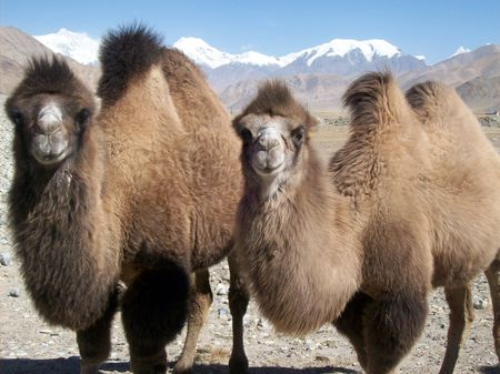 tajikistan: two camels staring Stock Photo