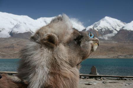 camel on the shore of Karakul lake