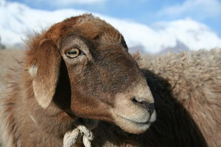 a sheep on top of the mountain Stock Photo