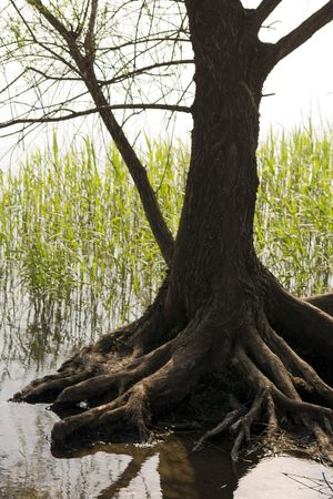 roots and branches, a willow tree on the shore of a lake photo
