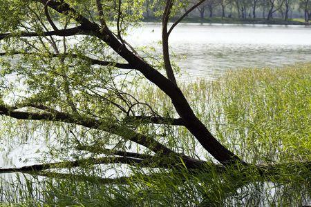 sumergido: sauce en el lago, sumergido