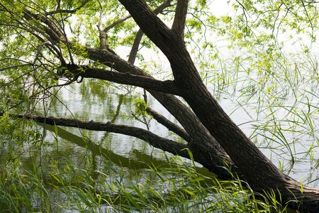 willow tree half submerged by the water of a lake photo