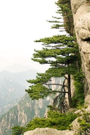 pine tree in huangshan photo